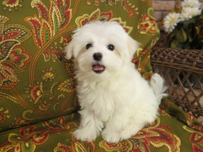 Quality Maltese Puppies For Sale Quality Home Raised Maltese
